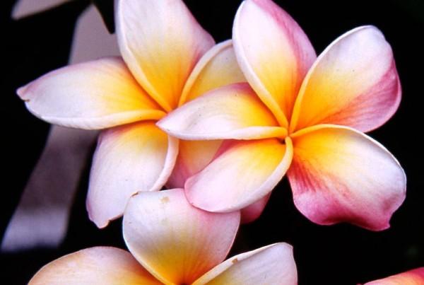 fleurs-frangipanier
