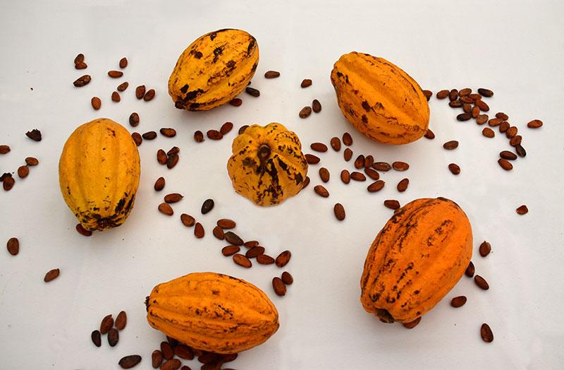 Cabosses-et-feves--de-cacao