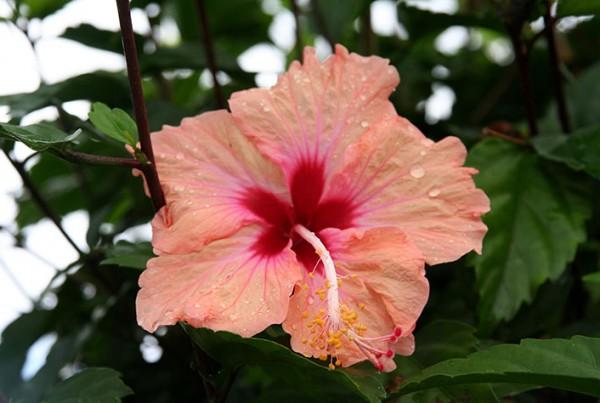 Hibiscus. Photo Jack PL 10