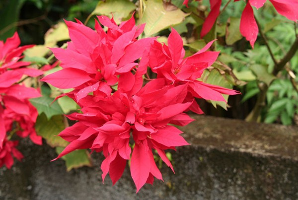 Poinsettia-Photo-Jack-PL10