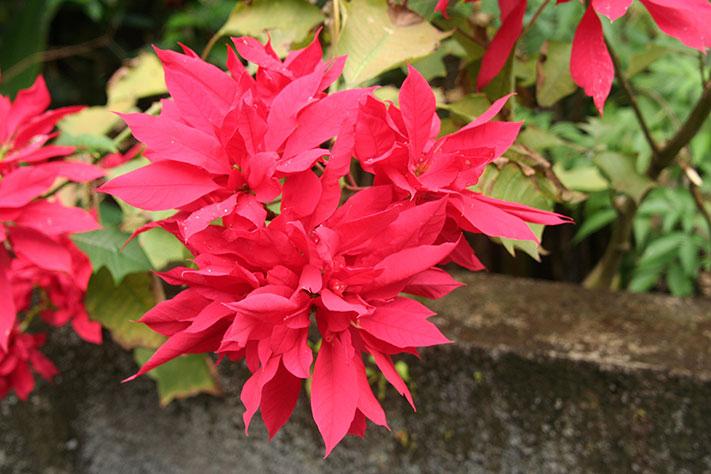Poinsettia-Photo-Jack-PL10